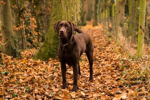 Dog_photographer_Labrador-24
