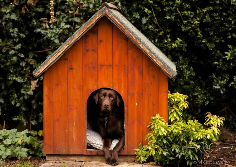 Dog_photographer_Labrador-37