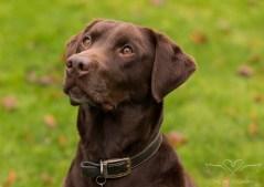 Dog_photographer_Labrador-8