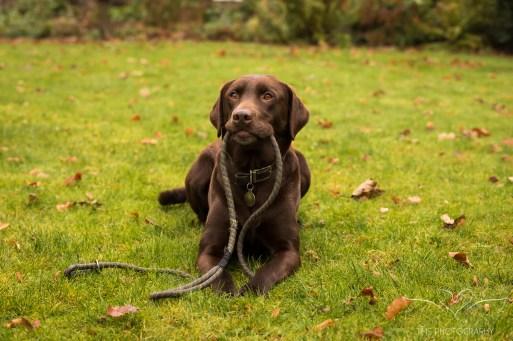 Dog_photographer_Labrador-9