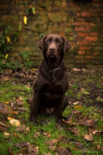 Dog_photographer_Labrador