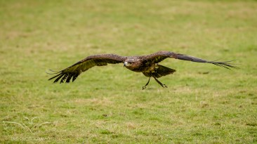 Birdsofprey_photography (53 of 71)