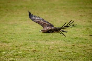 Birdsofprey_photography (59 of 71)