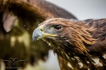 Birdsofprey_photography (68 of 71)