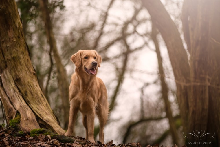 Dog_photographer_Golden_Retriever