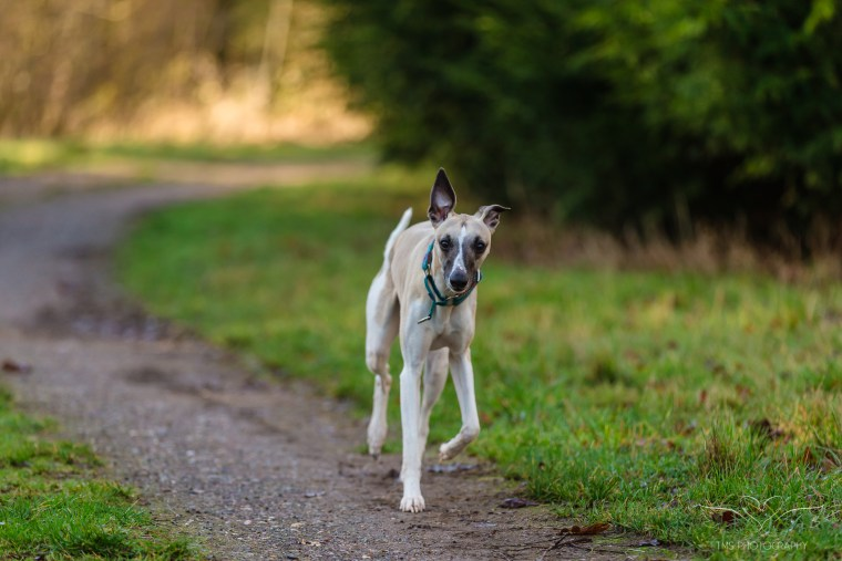 Dog_photographer_Leicestershire_English_Pointer_and_whippet-111
