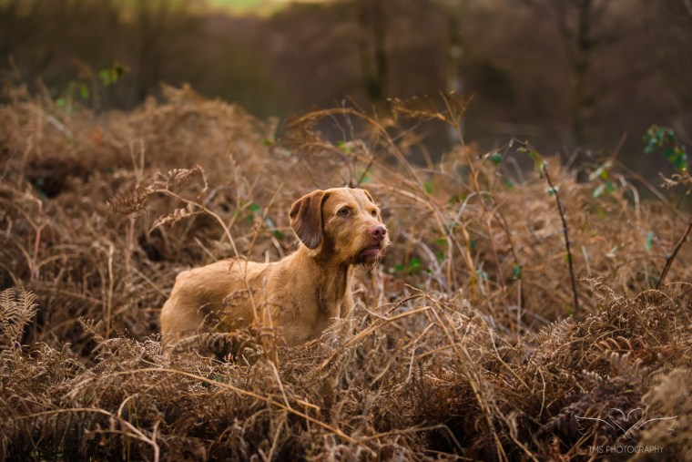 Dog_photographer_Viszla-40