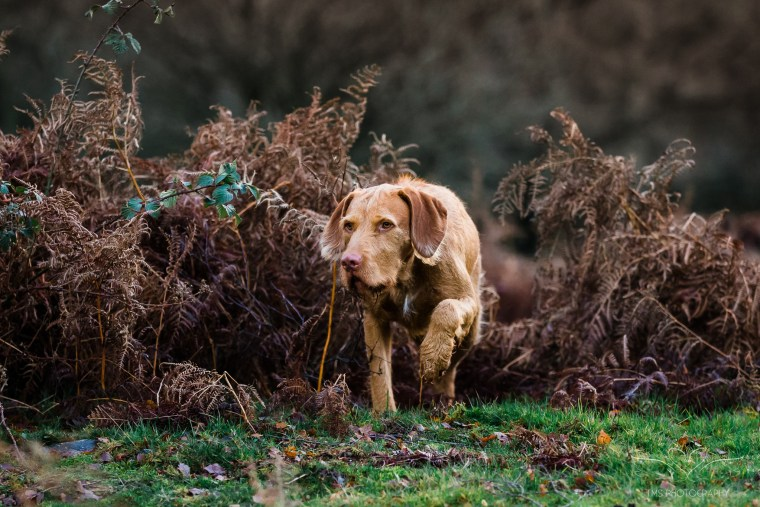 Dog_photographer_Viszla-57