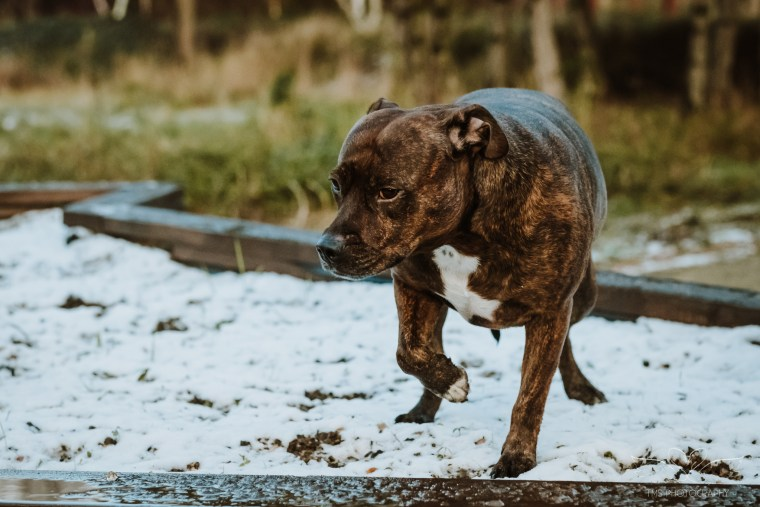 Dog_photographer_Derbyshire_Staffordshire_Bull_Terrier-5