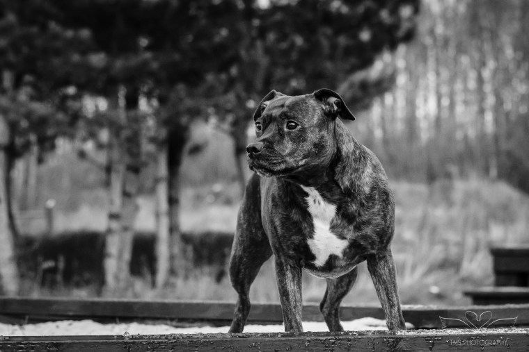 Dog_photographer_Derbyshire_Staffordshire_Bull_Terrier-7