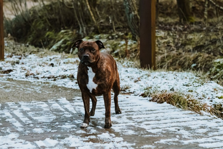 Dog_photographer_Derbyshire_Staffordshire_Bull_Terrier
