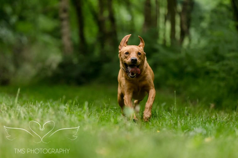 Labrador_dog_photography-14