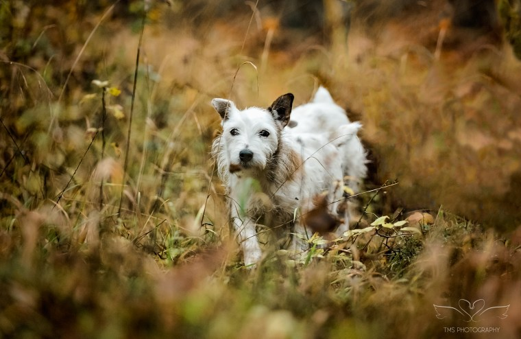 Dog photography-jack-russell-derbyshire