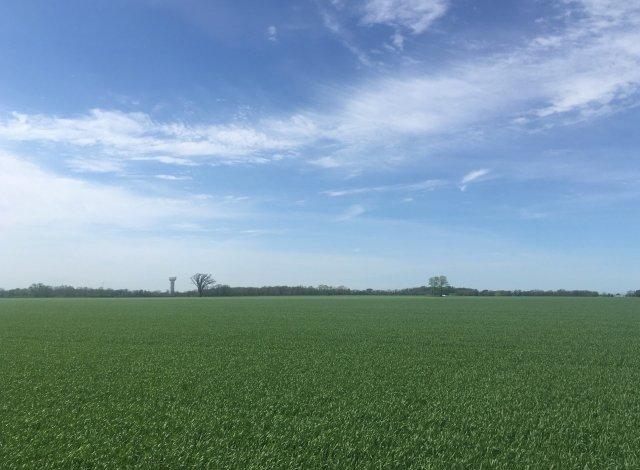 A farm field, green with winter wheat.