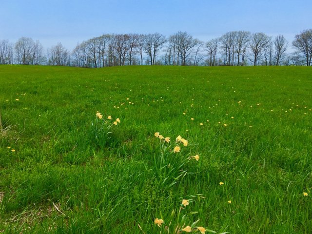 A field of very green grass peppered with daffodils, on the horizon bare trees beginning to bud against a blue sky.