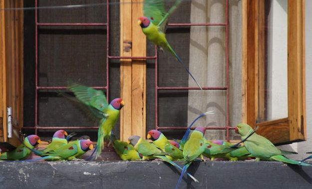 Wild Plum-headed parakeets come to Dolma Ling Nunnery for food during the cold months