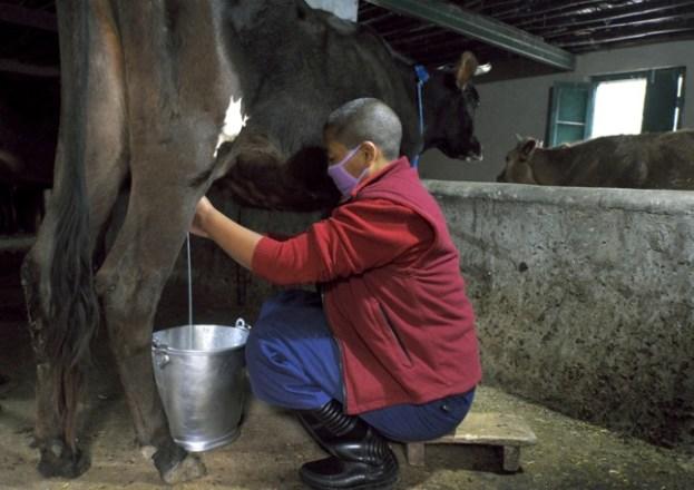 nun milking cow, Tibetan Nuns Project, Dolma Ling Nunnery, Buddhist nun, Tibetan nun, cow in India