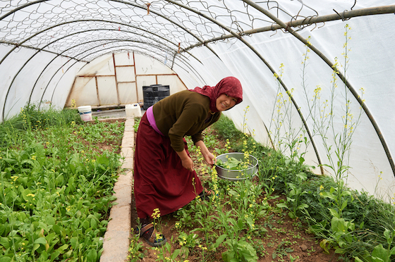 Tibetan Buddhist nun working in greenhouse in Spiti
