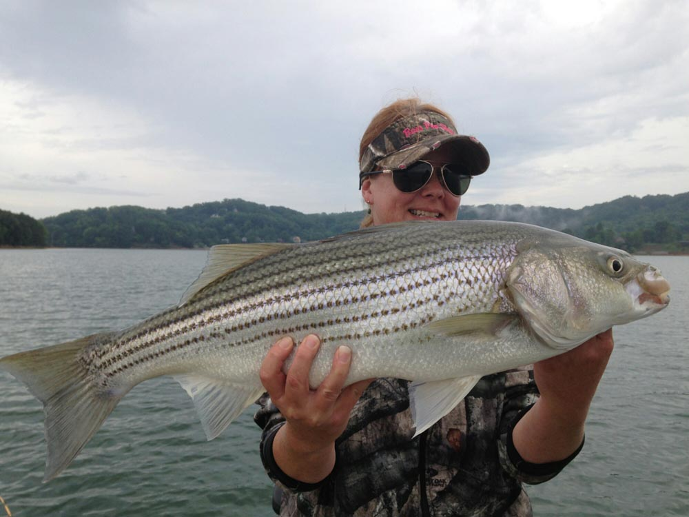 Bass Striper Bait Catcher Tennessee Lakes Trips