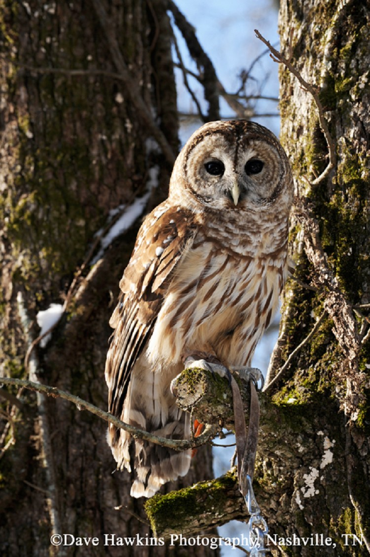 Owls In East Tennessee : tennessee, Birding, Trails, Tennessee, Wildlife, Resource, Agency, Barred