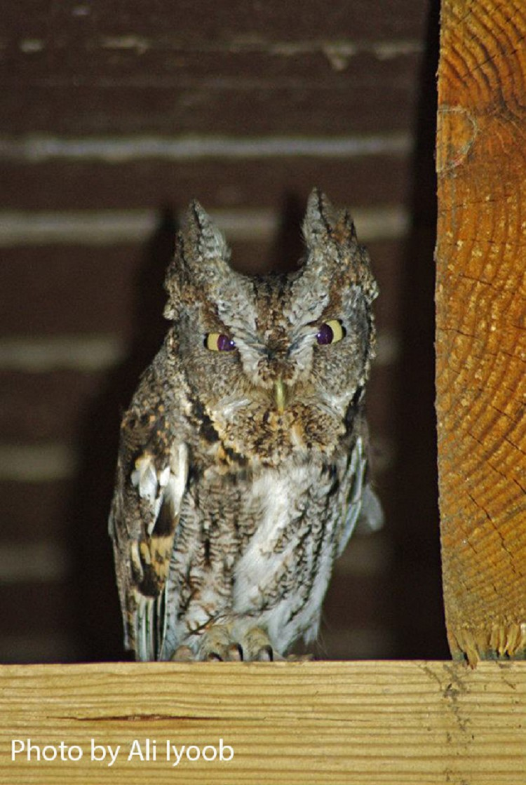 Owls In East Tennessee : tennessee, Birding, Trails, Tennessee, Wildlife, Resource, Agency, Eastern, Screech-Owl