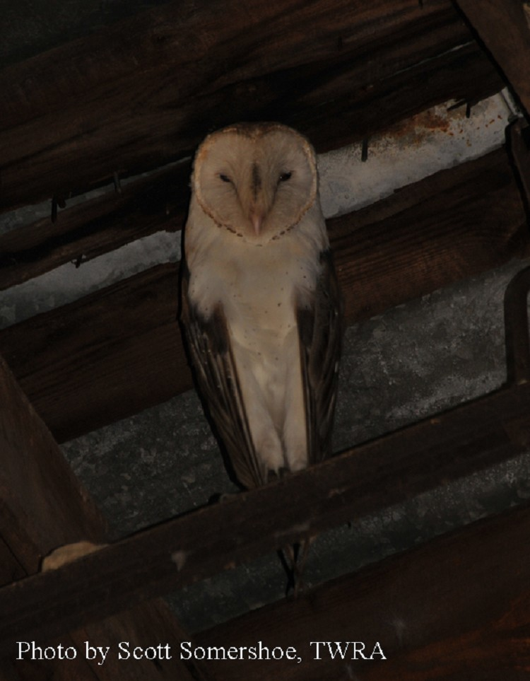 Owls In East Tennessee : tennessee, Birding, Trails, Tennessee, Wildlife, Resource, Agency