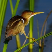 Least Bittern Bird