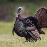 Turkeys Tennessee