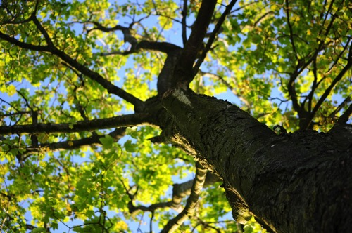 Tree crown in summer