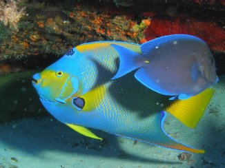 Queen Angel Fish and Blue Tang 2014-06-20 01