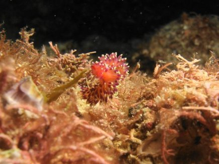 Desirable Flabellina 2015-10-10 03