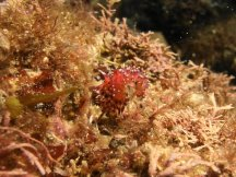 Desirable Flabellina 2015-10-10 06
