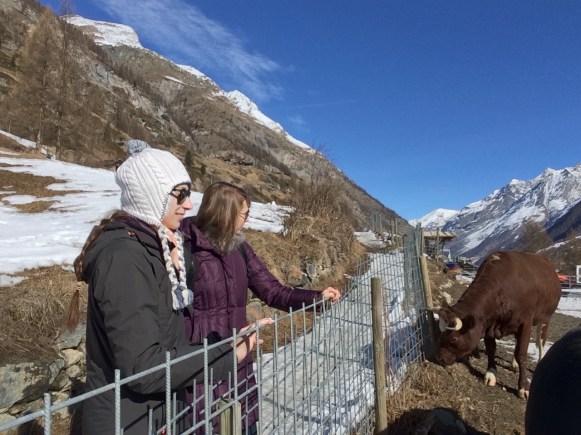 Cows along a hiking path in Zermatt.