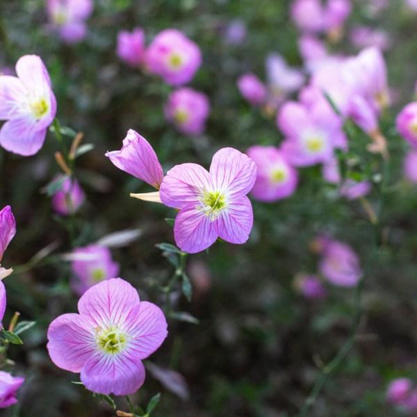 Evening Pink Primrose Flower Essence