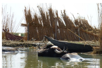 The Marshes, water buffalo