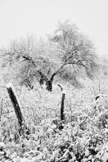 SnowfallFence:Tree