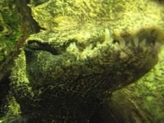 Zęby krokodyla