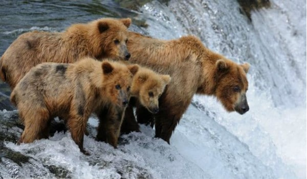 learning, bears, salmon, confidence, competence, Toby Elwin, blog