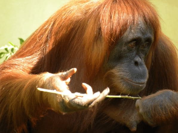 orangutang, 2013, top post, Toby Elwin, blog