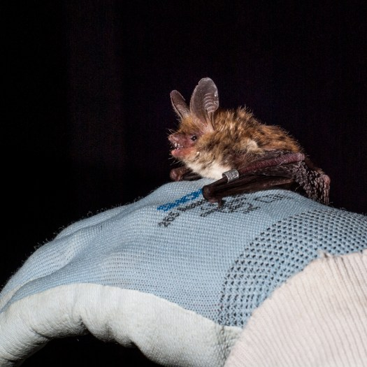 Another bat echolocating in the hand - this bat is using echolocation to examine its surroundings before taking off.
