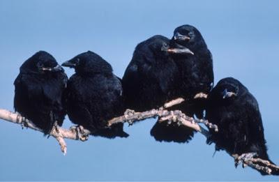 Crows Know Death