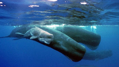 Culture and language in whales