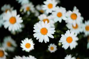 selective focus of white and yellow daisy flowers