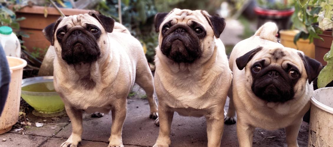 tres pugs