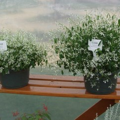 Baby Lawn Chair For Dining Table Baby's Breath Euphorbia A Texan Plant At Heart | Agrilife Today