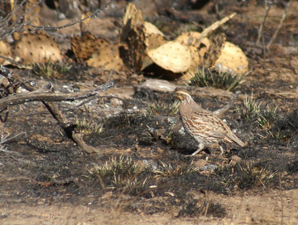 AgriLife Extension monitoring quail response to largescale wildfires  AgriLife Today