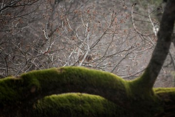 A bobcat peers through the bare branches of a maple tree, behind a mossy trunk.