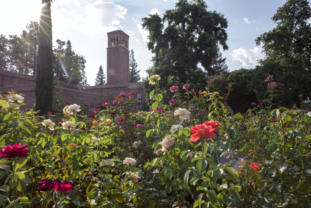 Early morning in the George Petersen Rose Garden. (Photo by Jason Halley, University Photographer)