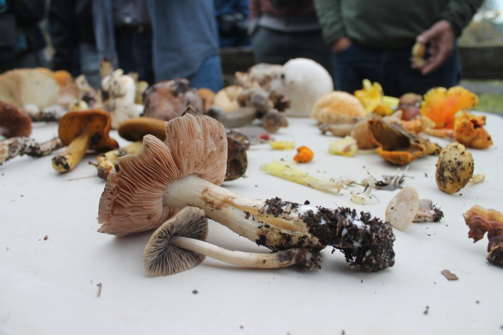 Mushrooms fill a table to be identified.
