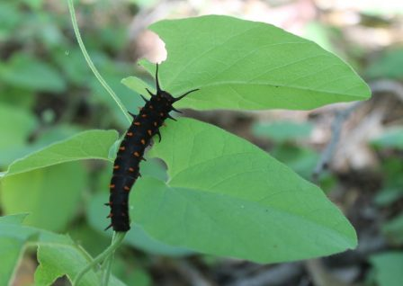 A black and orange caterpillar leaves giant holes in leaves as it eats its way through the plant.